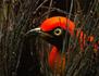 Les paradisiers de Nouvelle-Guinée