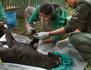 L'Inde, la clinique des tigres