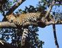 Insaisissable léopard