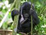 Les derniers gorilles de montagne